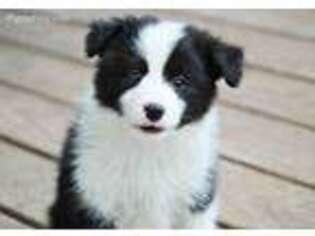 PuppyFinder com - View Ad: Photo #1 of Listing Border Collie