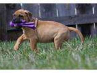Bullmastiff Puppy for sale in Shipshewana, IN, USA