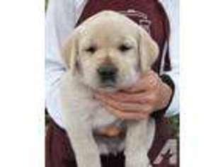 View Ad: Labrador Retriever Puppy for Sale near Hawaii, HOLUALOA