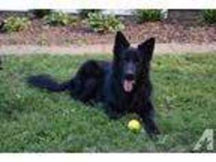 View Ad: German Shepherd Dog Puppy for Sale near Ohio, ADAMS