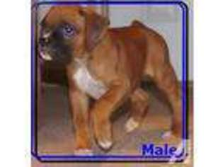 View Ad Boxer Puppy For Sale Wisconsin Black River Falls Usa