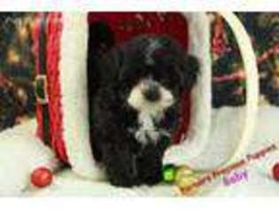 View Ad Shih Poo Puppy For Sale North Carolina Hickory Usa
