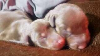 Doberman Pinscher Puppy for sale in Sarasota, FL, USA