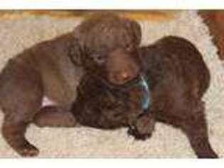 Chesapeake Bay Retriever Puppy for sale in Shepherdstown, WV, USA