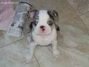 View Ad Boston Terrier Puppy For Sale New Jersey North Haledon Usa