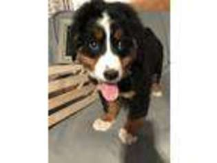 View Ad Bernese Mountain Dog Puppy For Sale Illinois