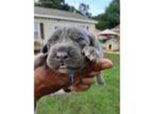 Cane Corso Puppy for sale in Ruther Glen, VA, USA