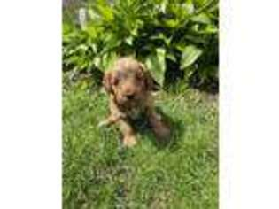Goldendoodle Puppy for sale in Dracut, MA, USA