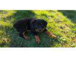 View Ad Rottweiler Puppy For Sale Oregon Newberg Usa