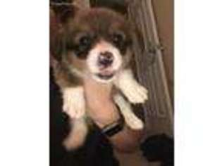 View Ad Pembroke Welsh Corgi Puppy For Sale Florida Pensacola Usa