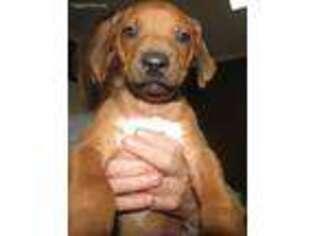 Rhodesian Ridgeback Puppy for sale in Trinity, NC, USA