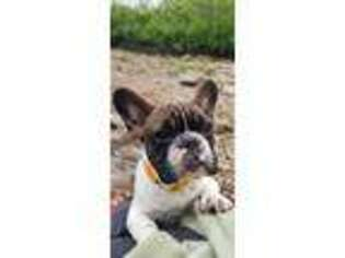 French Bulldog Puppy for sale in Berlin, NH, USA