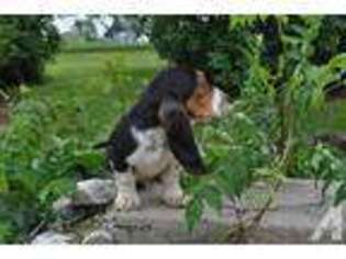 View Ad Basset Hound Puppy For Sale Ohio Wauseon Usa