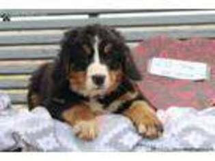 View Ad Bernese Mountain Dog Puppy For Sale Pennsylvania