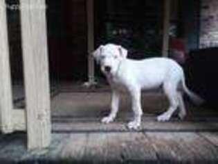 Dogo Argentino Puppy for sale in Milton, FL, USA