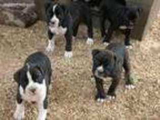 View Ad Boxer Puppy For Sale Oregon Corvallis Usa