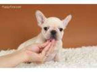 View Ad French Bulldog Puppy For Sale New Jersey Bridgewater Usa