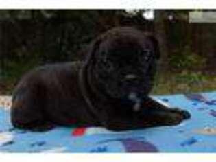 Puppyfinder com: French Bulldog puppies puppies for sale