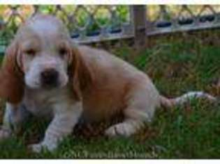 View Ad Beagle Puppy For Sale North Carolina Raleigh Usa