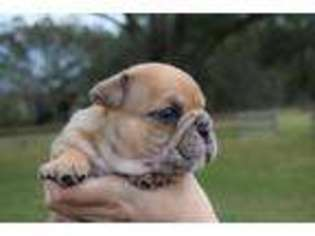Olde English Bulldogge Puppy For Sale in Eustis, FL, USA