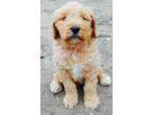 View Ad Goldendoodle Puppy For Sale Minnesota Newfolden Usa