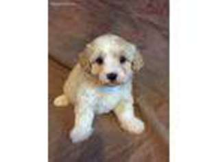 Havanese Dog For Adoption in Indianapolis, IN, USA