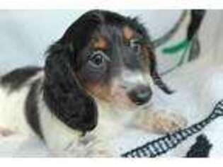 Dachshund Puppy for sale in Ocala, FL, USA