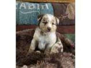 Australian Shepherd Puppy for sale in Lewisburg, KY, USA