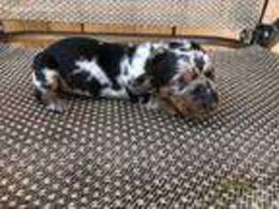 View Ad: Dachshund Puppy for Sale, Maine, Bangor, USA