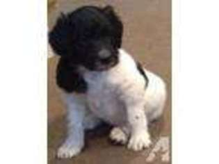View Ad: Springerdoodle Puppy for Sale near Washington, SEATTLE, USA