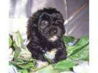 View Ad: Havanese Puppy for Sale near Texas, UVALDE, USA