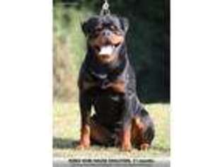 View Ad Rottweiler Puppy For Sale Florida Orlando Usa