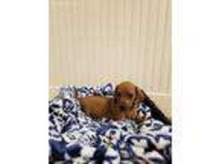 View Ad Dachshund Puppy For Sale Pennsylvania Loysville Usa
