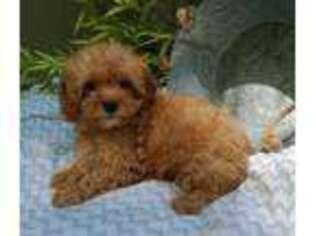 Cavapoo Puppy for sale in Burtonsville, MD, USA