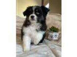 Miniature Australian Shepherd Puppy for sale in Montrose, CO, USA