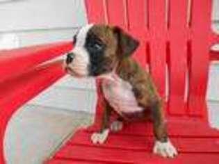 Boxer puppies for sale in pueblo colorado