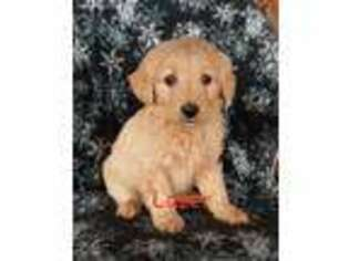 Puppyfinder com: Puppies puppies for sale and dogs for