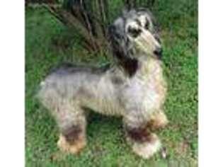 Puppyfinder com: Afghan Hound puppies puppies for sale near
