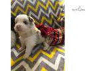 Border Collie Puppy for sale in Fayetteville, AR, USA