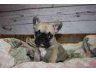 French Bulldog Puppy for sale in Brooklyn, CT, USA