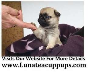 Puppyfinder com: Pug puppies puppies for sale near me in