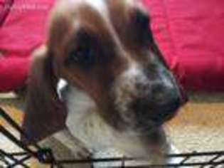 View Ad Basset Hound Puppy For Sale Florida Orlando Usa