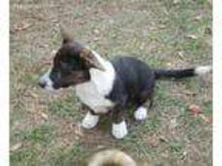 View Ad Cardigan Welsh Corgi Puppy For Sale Florida Homosassa Usa