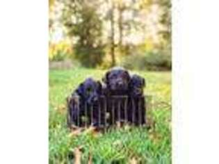 Labradoodle Puppy for sale in Clinton, SC, USA