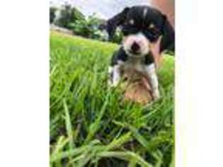 View Ad Beagle Puppy For Sale Michigan Monroe Usa