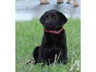 View Ad: Labrador Retriever Puppy for Sale near South Dakota