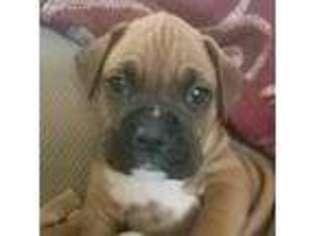 boxer puppy for sale michigan