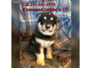 View Ad Alaskan Malamute Puppy For Sale Colorado Pueblo West Usa