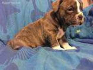 Olde English Bulldogge Puppy For Sale near Judsonia, AR, USA