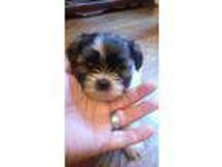 Shorkie Tzu Dog For Adoption in Virginia Beach, VA, USA